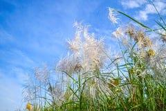 Reed Flowers Arkivbild