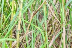 Reed Flowers Royaltyfria Bilder