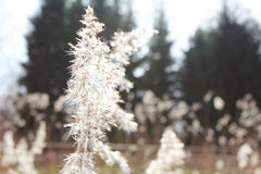 Reed flowers. Royalty Free Stock Photo