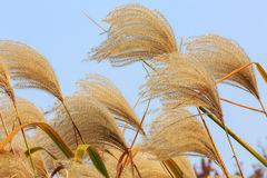 Reed flowers Royalty Free Stock Photo