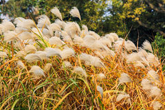 Reed flowers Royalty Free Stock Images