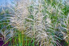 Reed flowers Royalty Free Stock Photography