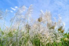 Reed flowers Stock Images