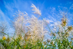 Reed flowers Stock Image