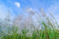 Reed flowers Stock Photography