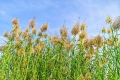 Reed flowers Royalty Free Stock Image