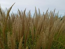 Reed flowers in full bloom on sky background Closeup Giant Reed Royalty Free Stock Photography