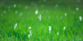 Reed Flowers Glowing op Groen Land royalty-vrije stock afbeelding