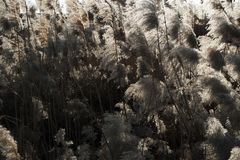 Reed flowers. Reeds into winter yellowing of stem dead in the winter sun yi yi is unripe brightness Royalty Free Stock Photos