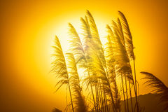 Reed flowers in the setting sun Royalty Free Stock Photos