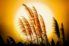 Reed flowers in the setting sun Royalty Free Stock Images