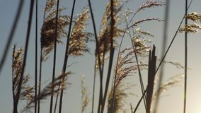 Reed Flowers At Sunset. Close Up Shot Of Dry Silhouetted Reeds Swaying Gently In The Wind Against The Sunset On A Winters Day Royalty Free Stock Photos