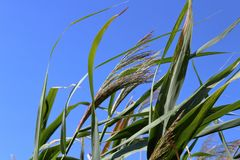 Reed fluttering against a blue royalty free stock photography