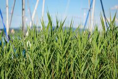 Green reed in front of a small port at lake constance royalty free stock photo