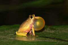 Reed frog calling Royalty Free Stock Photos
