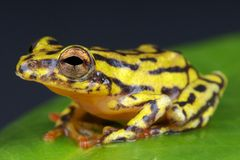 Reed frog / Hyperolius spec. Royalty Free Stock Image