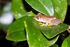 Reed frog Stock Image