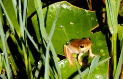 Reed Frog South Africa peint Photos stock