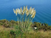 Reed in front of the sea. Reed growing in front of the sea Royalty Free Stock Photo
