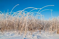 Reed in frost Royalty Free Stock Photography