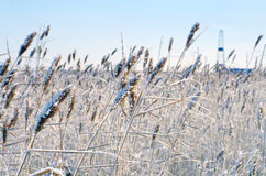 Reed in frost Stock Photography