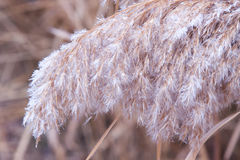Reed and frost Royalty Free Stock Images