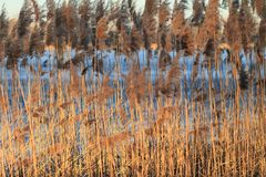 Reed in Frozen Lake Stock Photos