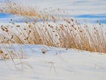 Reed on frozen lake at Harghita Bai, Romania. Reed on frozen lake at Harghita Bai Romania Stock Photos