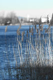 Reed in Frozen Lake Royalty Free Stock Image
