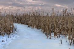 Reed. On frozen lake in winter season Royalty Free Stock Photo