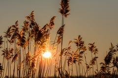 Reed gegen den Sonnenuntergang Horizontale Ansicht mit Schilf gegen winte Lizenzfreie Stockbilder