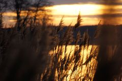 Reed in the golden glimmer. Of the evening Royalty Free Stock Photos
