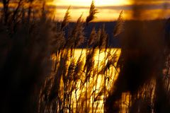 Reed in the golden glimmer. Of the evening Royalty Free Stock Photo