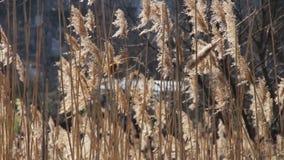 Reed, grama alta na natureza balança no vento vídeos de arquivo