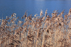 Reed grass Royalty Free Stock Images