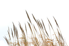 Reed grass isolated on white background. Reed grass on white background Stock Image