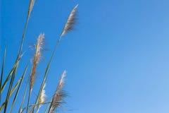 Reed Grass Arkivbild
