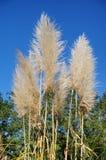 Reed Grass Imagenes de archivo