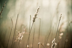 Reed Grass Image stock