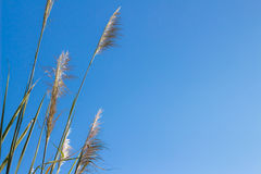 Reed grass Stock Photography