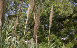 Reed Grass Stock Images