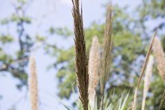 Reed Grass Royalty Free Stock Photography