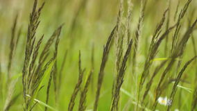 Reed grass stock footage