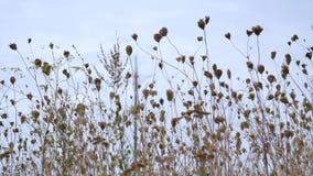Reed Grass de balanceo en el viento en el mar con el cielo azul Foto de archivo