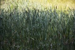 Reed - grass family, grass in the sun. Trip to Poland stock image