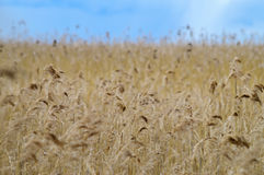 Reed grass field under blue sky royalty free stock image