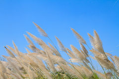 Reed grass flower against blue sky Royalty Free Stock Images