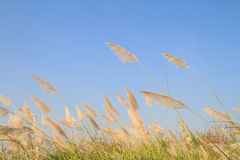 Reed grass flower against blue sky Stock Photography