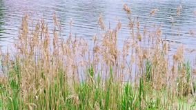 Reed grass fluttering on the wind in front of water stock video
