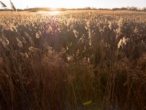 Reed grass with golden light Stock Photo